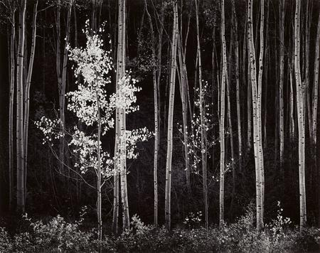 Ansel Adams, Aspens. Northern New Mexico, 1958